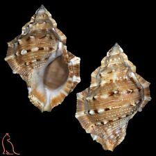Bursa Bufonaria crumena crumena, India, Bursidae sea shell