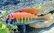 "MALE WITH COLOR! Haplochromis sp. ""flameback"", 3.25-4.0 inch, African Cichlid"