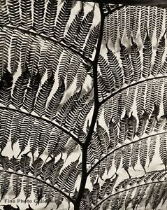 1955 Vintage BRETT WESTON Giant Fern Botanical Abstract Original Photo Engraving