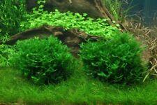 """Monosolenium tenerum """"Pelia Moss""""  80cc cup Portion"""