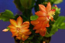 Christmas Cactus - ORANGE DRAGON BEAUTY - Succulent - 5 Double Segments
