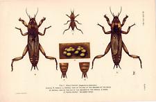 "Mole Cricket, A Hoen & Co. Agriculture 6 1/4 x 9 1/2 "" Color Plate Entomology"