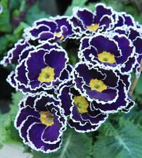 Primrose 'Sacarina Blue' Perennial Garden Plug Plants Pack x6