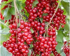 1 Jonkheer Van Tats red currant rooted starter plant zones 3-7