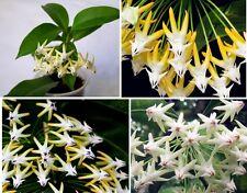 15x Rakete Hoya Samen Blume Zimmerpflanzen Blumen Blumensamen #347
