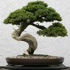 20 Fresh Seeds Beautiful Chinese Juniper Bonsai Tree Juniperus chinensis Tree