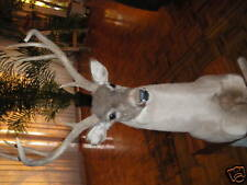 Whitetail Deer 8PT Pedistal Mount