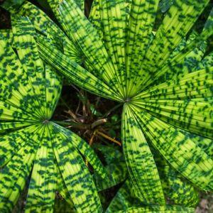 RARE Plant,  Palm seedling, Licuala mattanensis, 'Mapu'