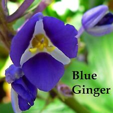 ~SAPPHIRE BLUE GINGER~ Gorgeous TROPICAL Dichorisandra thyrsiflora PLANT CUTTING