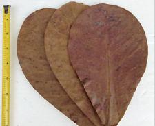 15 Indian Almond Leaves 30 Grams, A+ Catappa Ketapang for Fish, Shrimp, Aquarium