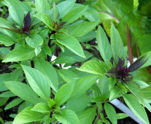 100+ Thai Basil Seeds(Ocimum basilicum)Khmer Chi neang Voang Jiu Ceng Ta USA