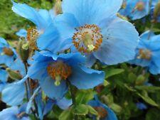 Blue Poppy Flower Seeds - Garden Seeds - Bulk