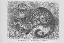 Palmenroller Paradoxurinae Schleichkatzen Holzstich von 1891 Katzen