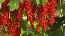 Redcurrant - Ribes Rubrum - 25 seeds - Berries - Shrub - Hedging