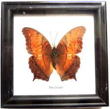 Cadre Véritable Papillon,The Cruiser,vintage,cadeau,collection,taxidermie,cadre,
