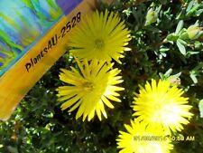 Garden Succulent MESEMBRYANTHEUM (PIGFACE) Yellow  cuttings x 10