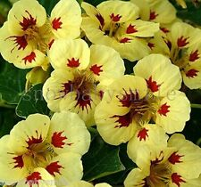 100 grams 700 Nasturtium Seeds Tropaeolum Majus Creeper Dwarf Flower Perennial