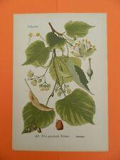Winterlinde  Steinlinde (Tilia cordata) THOME Lithographie um 1890