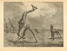 Africa, Hunting, The Fall Of The Giraffe, Vintage 1883 Antique Art Print