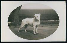 Dog breed English Bulldog original old c1920s photo postcard