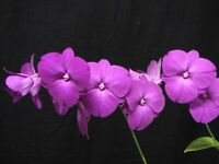 Rare orchid species (Bloom) miniature plant - Dendrobium Classic Gem