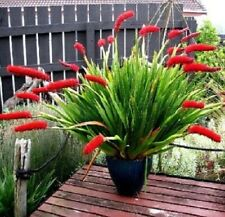 Ex446 POOR KNIGHTS LILY x20 seeds Xeronema Callistemon RARE NEW ZEALAND GRASS