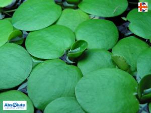 FROGBIT UK NATIVE POND FLOATING PLANTS LIVE PLANT FLOATING PLANT POND COLD WATER