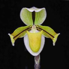 Slipper Orchid Species Paphiopedilum druryi Near Bloom Size