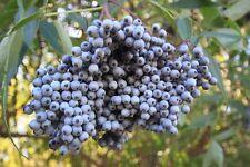 Sambucus caerulea (20 graines/seeds )