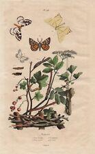 Spanner Lepidoptera Schmetterlinge Raupen kolorierter STAHLSTICH von 1838