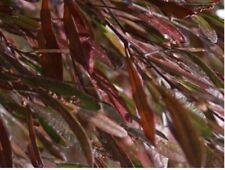 5 PZ Pianta di Dodonea Viscosa Purpurea Pianta da Siepe arredo giardino vaso 7