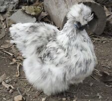 4 Blue Splash Bearded Silkie Hatching Eggs