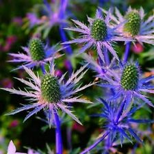 25 BLUE STAR SEA HOLLY Eryngium Flower Seeds from Canada, Perennial