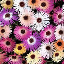 LIVINGSTONE DAISY 200+ seeds flower garden TRAILING ice plant Mesembryanthemum