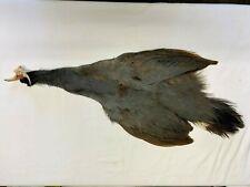 Blue Eared Pheasant Skin #1 (Be5)