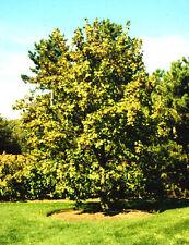 New listing Hedge Maple. 50 seeds. trees, seeds
