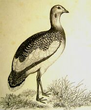 Ornithology a BUSTARD MATITA SCUOLA INGLESE c1850