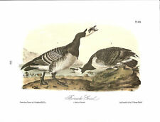 Barnacle Goose Vintage Bird Print by John James Audubon ABONA#386