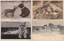 TIGERS TIGRES 43 Vintage ANIMAL Postcards Mostly pre-1940