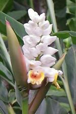 Alipinia Malaccensis Ginger Plant 10 Seeds #Ornamental