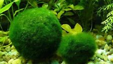 WOW!!! Marimo Moss Balls 5cm Cladophora Live Plant Aquarium in USA