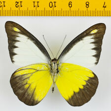 BUTTERFLY - Appias lyncida vasava (Aberration) - MALAYSIA - 9634