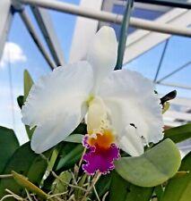 Cattleya Species-Cerro Verde-Cattleya trianae semi alba('White Kimera' x self)#2