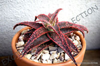 RARE ALOE CHRISTMAS CAROL red color hybrid succulent agave cacti seed 50 SEEDS