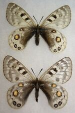Framed Parnassius cephalus Pair from China Butterfly Display Insect