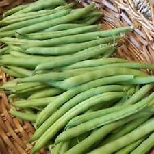 1/4 lb Provider bush bean seeds Stringless new seed for 2017 Non-GMO Heirloom