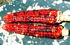 Corn Indian Glass Gem Ayann - A Rare & Unusual  Corn Variety!!!