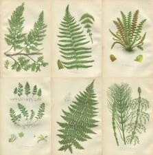6 Original Antique PRATT Fern Prints Botanical ferns - Ref PL2   1862
