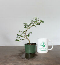Live Bonsai Tree, Chinese Privet, Mame Sized, Fully Wired, Worked Roots
