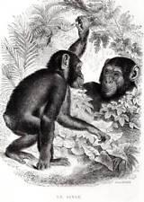 El Mono Original Buffon antiguo grabado impresión de Historia Natural